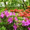 写真: 葉桜を背景に咲く躑躅(ツツジ)