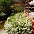 写真: 御手洗池脇の空木(ウツギ)