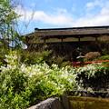 写真: 空木咲く下鴨神社