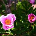写真: 芍薬も咲き始め