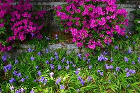 鳶尾と躑躅咲く上御霊神社