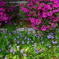 写真: 鳶尾と躑躅咲く上御霊神社