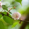 写真: 奈良の八重桜(ナラノヤエザクラ)
