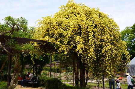 幸せの黄木香薔薇(キモッコウバラ)