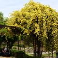 写真: 幸せの黄木香薔薇(キモッコウバラ)