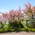 写真: 関山も満開~~~