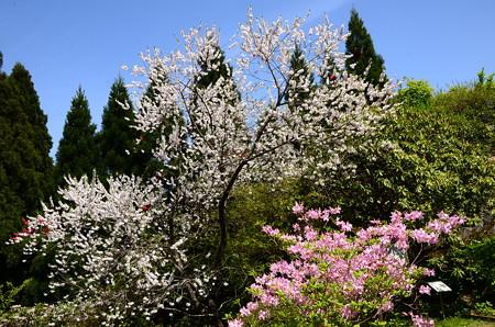 躑躅と花桃