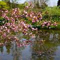写真: 花海棠とモネの池