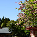 写真: 法華総持院の八重桜
