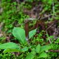 写真: 紫蝮草(ムラサキマムシグサ)