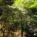 写真: 文殊塔脇の八重桜と石楠花
