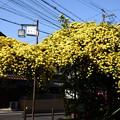 写真: 黄木香薔薇(キモッコウバラ)