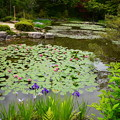 写真: 杜若と睡蓮咲く蒼龍池