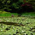 写真: 睡蓮咲く白虎池