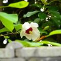 写真: 大山蓮華(オオヤマレンゲ)
