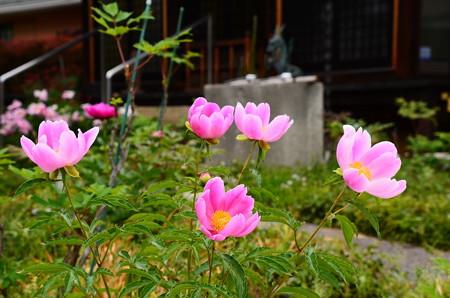 芍薬咲く極楽寺