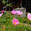 写真: 芍薬咲く極楽寺