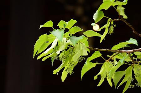 菩提樹はまだ蕾