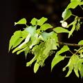 写真: 菩提樹はまだ蕾