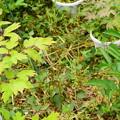 写真: 牡丹(左)と芍薬(右)の葉