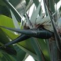 写真: 瑠璃極楽鳥花(ルリゴクラクチョウカ)