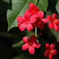 写真: 提琴桜(テイキンザクラ)