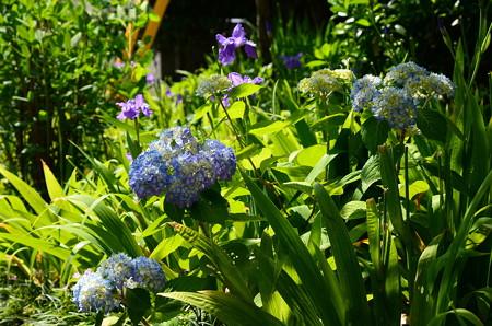 紫陽花と鳶尾