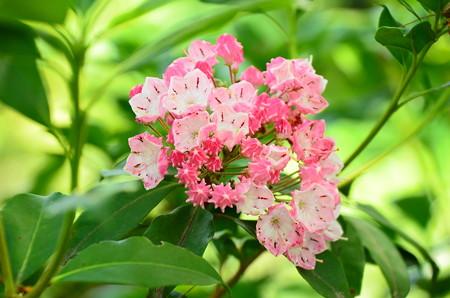 花傘石楠花(ハナガサシャクナゲ)