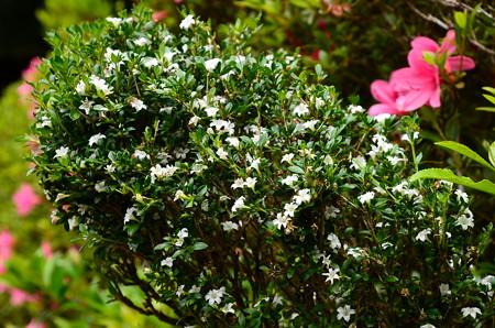 白丁花(ハクチョウゲ)