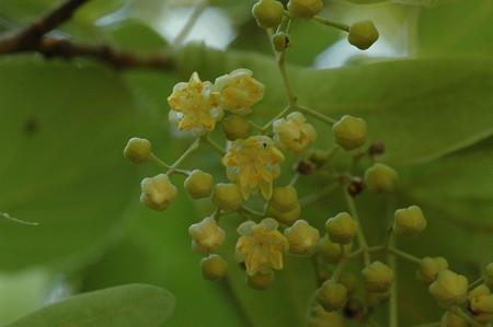 咲き始めた菩提樹(ボダイジュ)