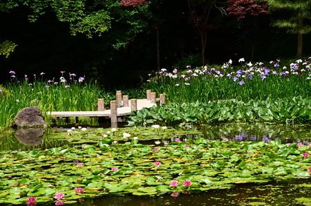 花菖蒲と睡蓮咲く白虎池