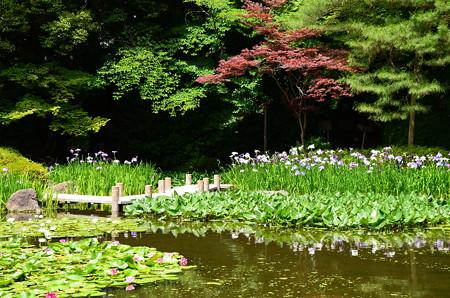 赤もみじと花菖蒲の白虎池