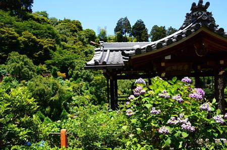 幸福地蔵堂前の紫陽花