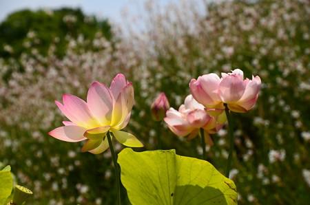 白蝶草を背景に咲く