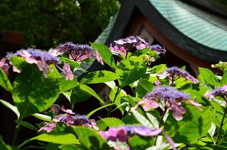 紫陽花とその影