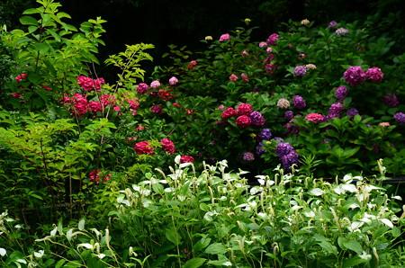 紫陽花と半夏生の紫陽花園