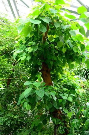 インド菩提樹(インドボダイジュ)