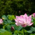 写真: 東寺の蓮