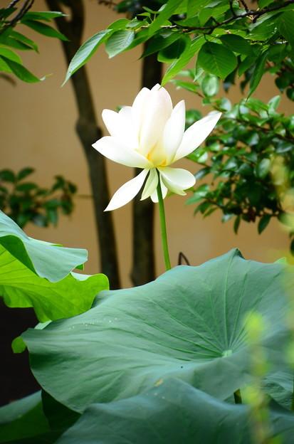 写真: 枳殻邸の蓮