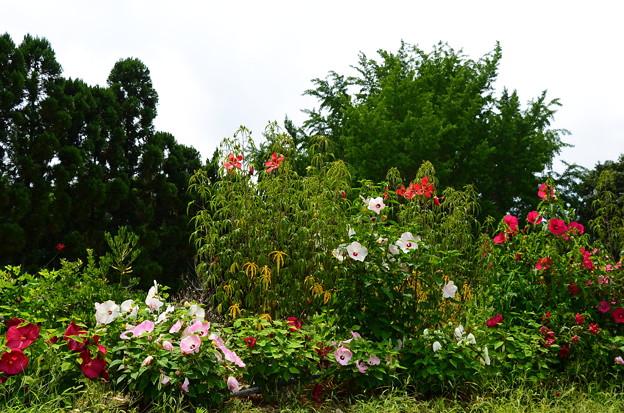 写真: 紅蜀葵とタイタンビクス咲く彩りの丘
