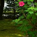 写真: 芙蓉と夏の影