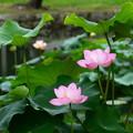 写真: 仏座蓮(ブツザレン)