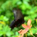 写真: 黒揚羽(クロアゲハ)