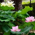 写真: 仏座蓮と亜米利加黄花蓮