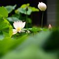 写真: 葉陰から覗いて~