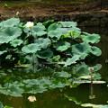 写真: 水面にも咲く