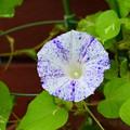 写真: 黄鍬形葉紫吹掛絞丸咲(きくわがたばむらさきふっかけしぼりまるざき)