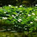 写真: 中央蓮池