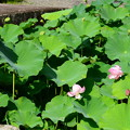 写真: 蓮池の蓮