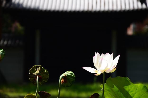 写真: 金輪蓮(キンリンレン)